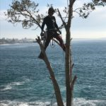 Jonnie from Wolf Trees climbing Norfolk Pine in Bundeena