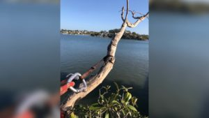 arborist cutting down a tree limb hanging over water