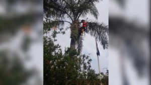 arborist pruning cocos palm tree