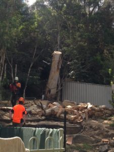 Arborists cutting down dead gum tree in residential backyard