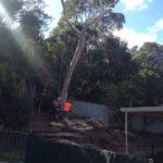 Arborists cutting down dead gum tree in residential backyard