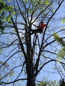 Jonnie from Wolf Trees installing sprinkler system in Robinia tree in Camellia Gardens