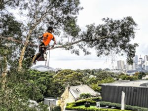 Paperbark Tree Pruning in Balmain