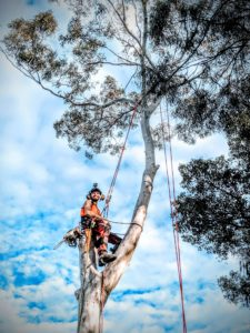 Gum Tree Removal in Kingsford