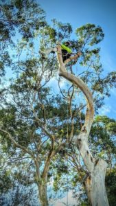 Gum Tree Removal in Miranda