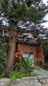 Norfolk Island Pine Removal in Hurstville