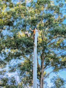 Gum Tree Removal in Blakehurst