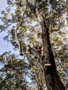 Blackbutt Tree Removal in Gymea