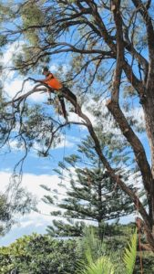 Rough Barked Apple Tree Pruning in Gymea
