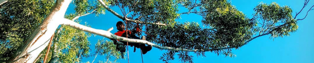 Wolf Trees removing a gum tree in Erskineville